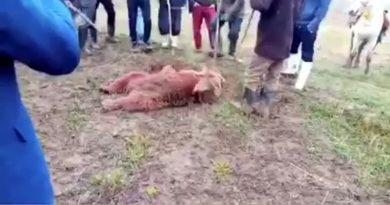 کشتار یک قلاده خرس در ارومیه در دست بررسی است